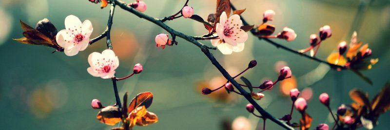 termék kép cseresznyevirág